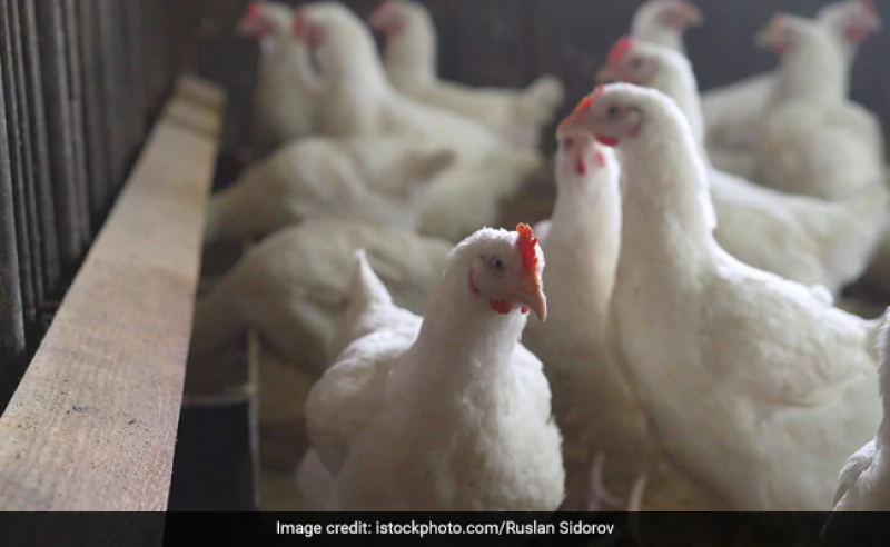 North, South Delhi Civic Bodies Ban Sale Of Chicken Over Bird Flu Scare India Taaza Khabar